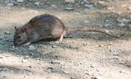 Szczur, Pospolity szczur, central park, Nowy Jork Obraz Royalty Free