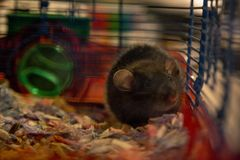 Szczur siedzi w klatce obraz royalty free