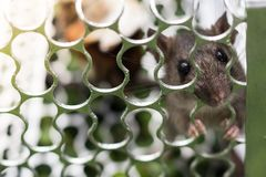 Szczur w klatce Fotografia Stock