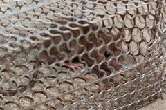 Szczur z strachem w klatce Fotografia Royalty Free