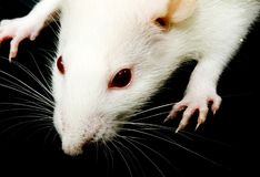 szczura biel Fotografia Stock