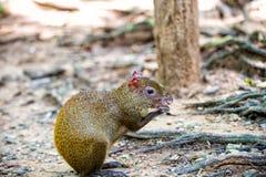 Szczura lub aguti ślepuszonki zwierzęcy obsiadanie w tropikalnym lesie deszczowym Honduras Zdjęcie Royalty Free