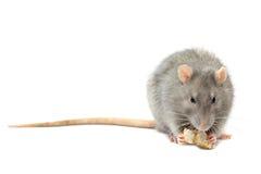 szczura odosobniony biel Zdjęcia Royalty Free