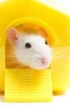 Szczura podglądanie Zdjęcie Stock