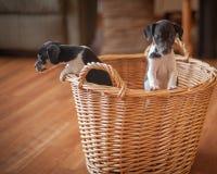 Szczura Terrier szczeniaki w łozinowym koszu Obraz Stock