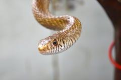 Szczura wąż fotografia stock