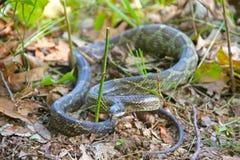 Szczura wąż unoszący uderzać Obrazy Royalty Free