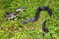 Szczura węża Illinois przyroda Zdjęcia Stock
