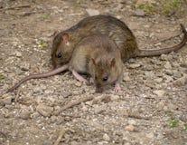 szczury obrazy stock