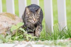 Szczwany kot kraść w jarda przez ogrodzenia tropić ptaki obraz royalty free