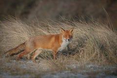 Szczwany lis w trawie Obrazy Stock