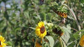 Szczygieł je słonecznikowych ziarna zbiory