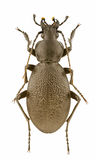 szczypawicy coriaceus Zdjęcie Royalty Free
