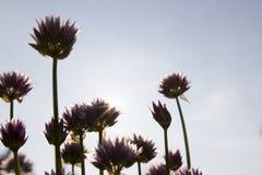 Szczypiorek z bezpośrednim słońcem Zdjęcie Royalty Free