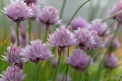 Szczypiorków flwoers Allium schoenoprasum Zdjęcie Royalty Free