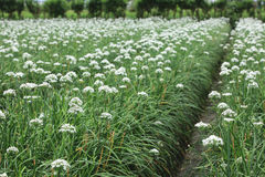 Szczypiorków kwiatów pole Zdjęcia Stock