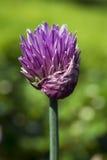 szczypiorków kwiatu macro Fotografia Stock