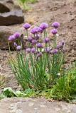 Szczypiorków kwiaty Obraz Stock