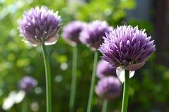 Szczypiorków kwiaty Fotografia Stock