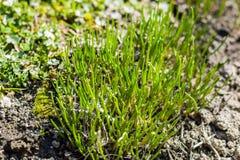 Szczypiorków zielarscy kwiaty na wiosna ogródzie Obrazy Royalty Free