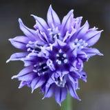 Szczypiorki, Allium schoenoprasum Obrazy Royalty Free