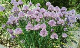 Szczypiorki w kwiacie Zdjęcia Royalty Free