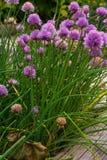Szczypiorki zasadzają z kwiatami zdjęcia royalty free