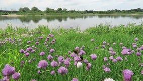 Szczypiorku łąkowy okwitnięcie na Elbe rzece mamrocze pszczoły lata wokoło Niemcy zbiory
