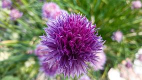 Szczypiorku kwiat Obraz Stock