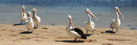 Sześć Australijskich pelikanów zdjęcie royalty free