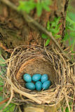 Sześć błękitnych jajek drozd w słomie gniazdują na drzewie w lesie Zdjęcie Stock