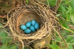 Sześć błękitnych jajek drozd w słomie gniazdują na drzewie w lesie Zdjęcia Stock
