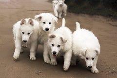 Sześć białych działających szczeniaków Zdjęcia Royalty Free