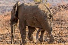 Sześć iść na piechotę ssaków Fotografia Royalty Free