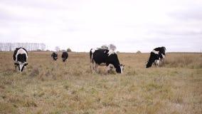 Sześć krów pasa na jesieni łące zawodnik bez szans zbiory wideo