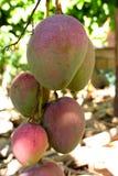 Sze?? mango Tommy atkins na drzewie fotografia stock