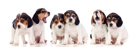 Sześć pięknych beagle szczeniaków zdjęcie stock