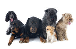 Sześć psów Obraz Stock