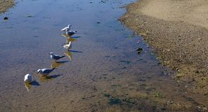 Sześć seagull ptaków na płytkiej wodzie zdjęcia royalty free