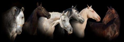 Sześć konia portreta sztandarów Zdjęcie Stock