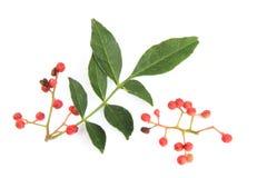 Szechuan pepper (Zanthoxylum piperitum) Stock Images