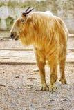 Szechwan扭角羚 库存照片