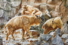 Szechwan扭角羚 免版税库存照片