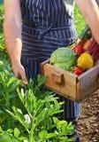 Szef kuchni zbiera przy lokalnym organicznie gospodarstwem rolnym zdjęcie stock