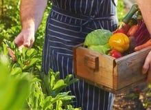 Szef kuchni zbiera przy lokalnym organicznie gospodarstwem rolnym zdjęcia stock