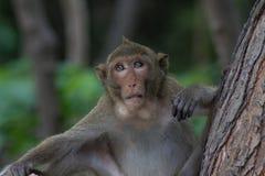 Szef małpa Zdjęcie Royalty Free