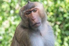 Szef małpy Obraz Royalty Free