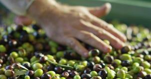 Szefa kuchni dotyka oliwki zbiory