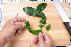 Szefa kuchni kłapcia kaffir wapna liście ręką Obrazy Royalty Free