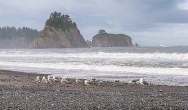Szene der Seemöwe auf dem Strand mit Felsenstapelinsel auf dem Hintergrund morgens in Realto-Strand, Washington, USA stockbild